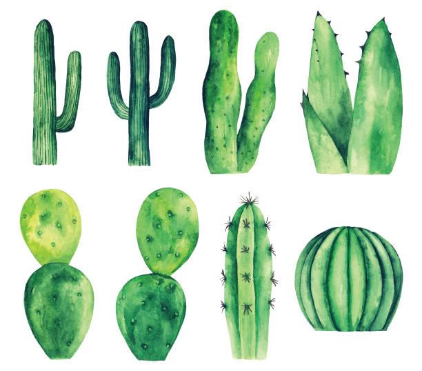 stockillustraties, clipart, cartoons en iconen met aquarel cactus vector illustraties - cactus