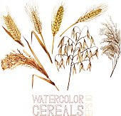 Collection of watercolor cereals. Wheat, millet, barley, rye, oats and rice. Vector set isolated on white background