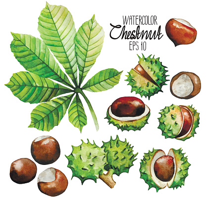 Watercolor chestnut: leaves and nuts