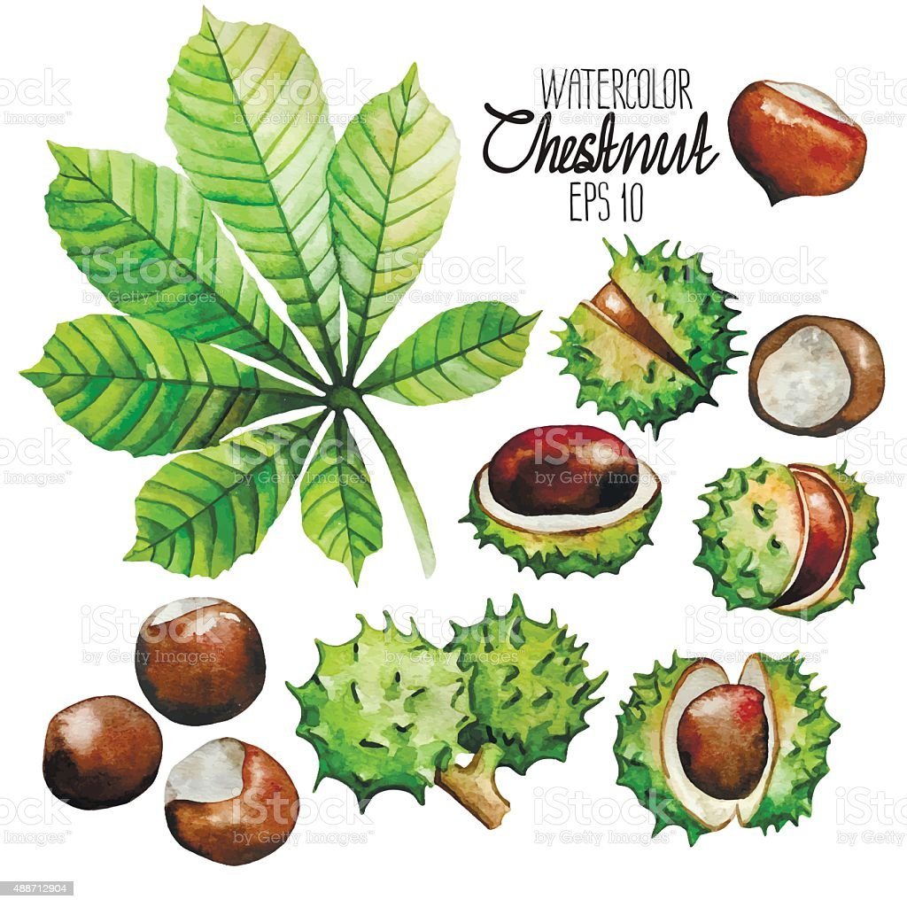 Watercolor chestnut: leaves and nuts vector art illustration