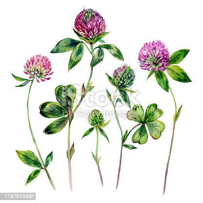 Watercolor Collection of Clover Blossoms, Foliage and Buds. Botanical Illustration of Trifolium Flower Isolated on White Background. Vintage Style Floral Decoration.