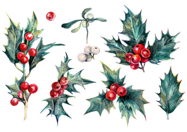 Watercolor Collection of Christmas Holly Plant vector art illustration