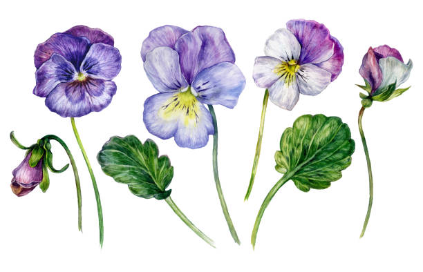 Watercolor Collection of Colorful Violets vector art illustration