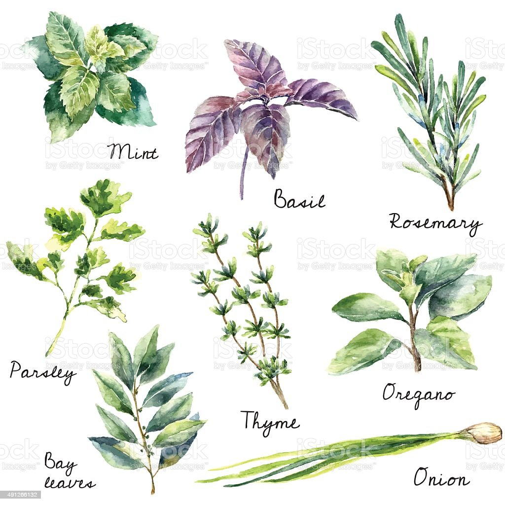 Watercolor collection of fresh herbs isolated. Watercolor collection of fresh herbs isolated: mint, basil, rosemary, parsley, oregano, thyme, bay leaves, green onion.  Hand draw illustration. 2015 stock vector
