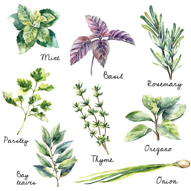 watercolor kolekcja świeże zioła odcięte. - liść mięty przyprawa stock illustrations