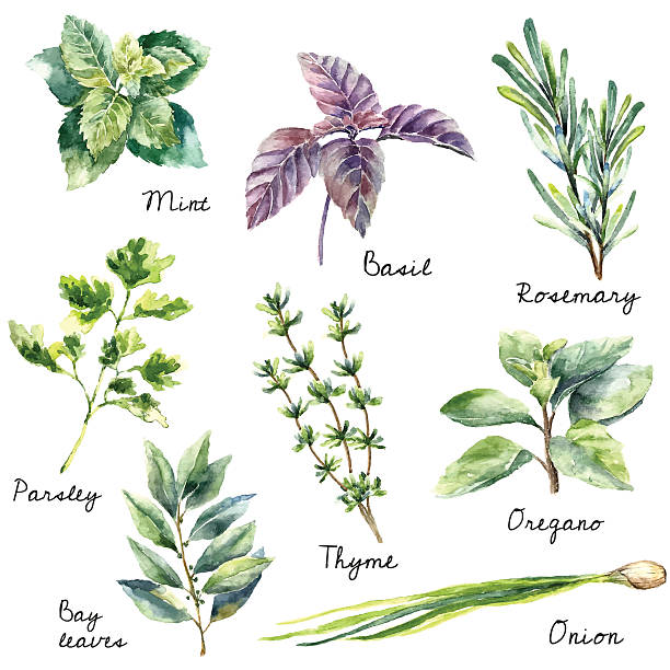 Watercolor collection of fresh herbs isolated. Watercolor collection of fresh herbs isolated: mint, basil, rosemary, parsley, oregano, thyme, bay leaves, green onion.  Hand draw illustration. basil stock illustrations