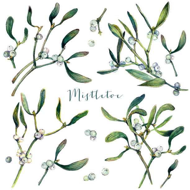 Watercolor Collection of Mistletoe Branches vector art illustration