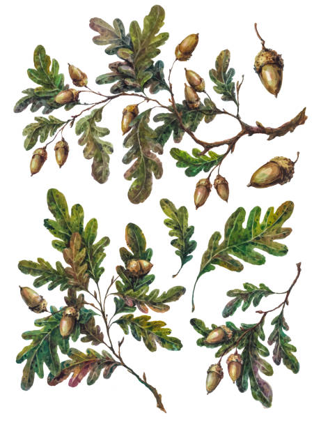 Watercolor collection of oak tree branches, leaves and acorns Watercolor handsketched collection of oak tree branches, twigs, leaves and acorns isolated on white. Vintage style botanical illustration. DIY rustic set, floral wedding decoration. oak leaf stock illustrations