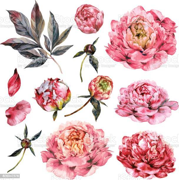 Watercolor collection of pink peonies vector id826342376?b=1&k=6&m=826342376&s=612x612&h=2ttmgc 0amrao4bdybbyaatphuah2ffrx1a4h3x6pz0=