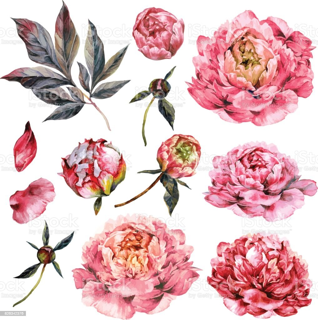 Watercolor Collection of Pink Peonies. vector art illustration