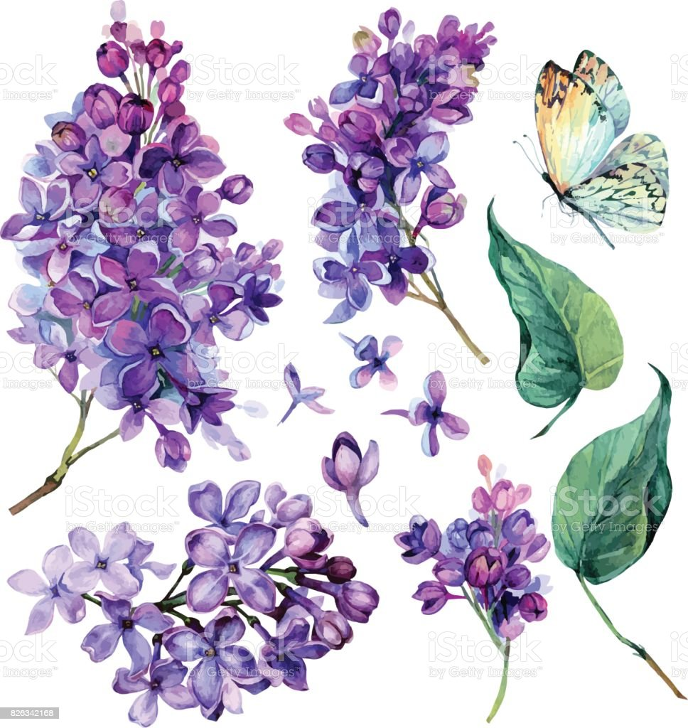 watercolor Collection of Purple Lilac. vector art illustration