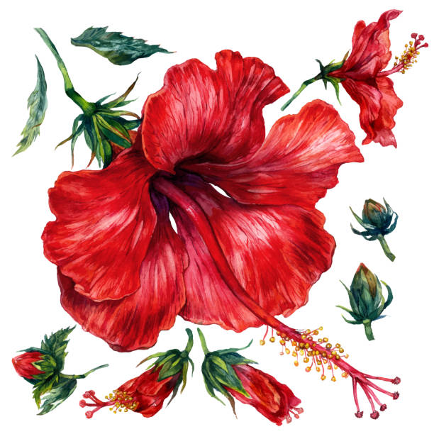 Watercolor Collection of Red Hibiscus Elements vector art illustration