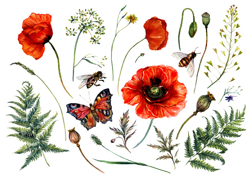 Watercolor Collection of Red Poppies and Meadow Plants