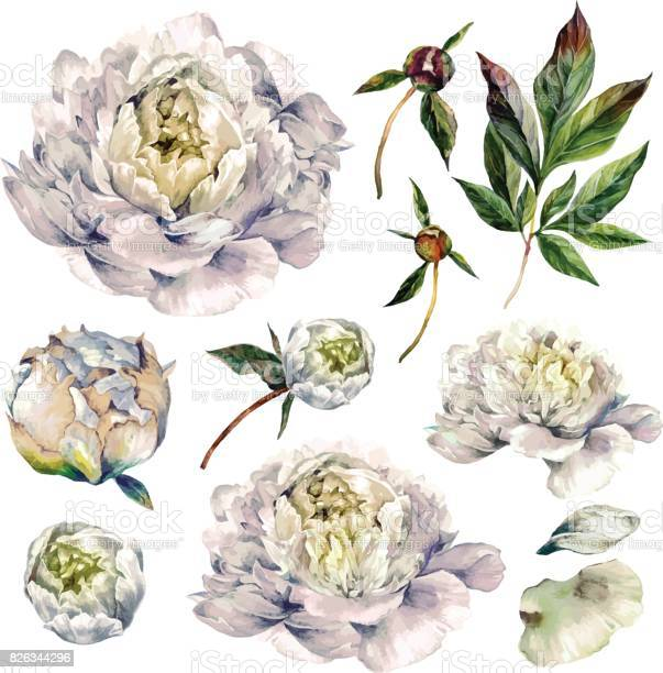 Watercolor collection of white peonies vector id826344296?b=1&k=6&m=826344296&s=612x612&h=b9huv8pxjktgvq8ipxwkh1wfe46i6of6 ocr9bjoxqk=