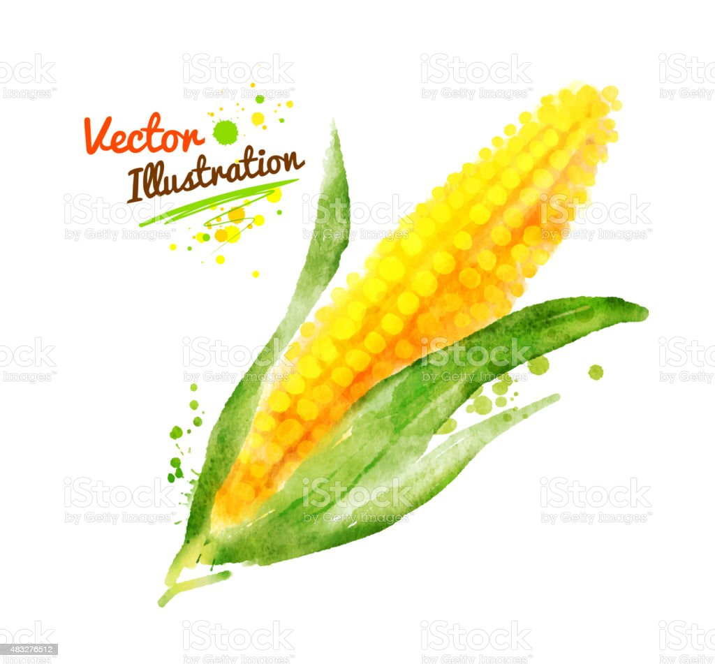 Watercolor corn. vector art illustration