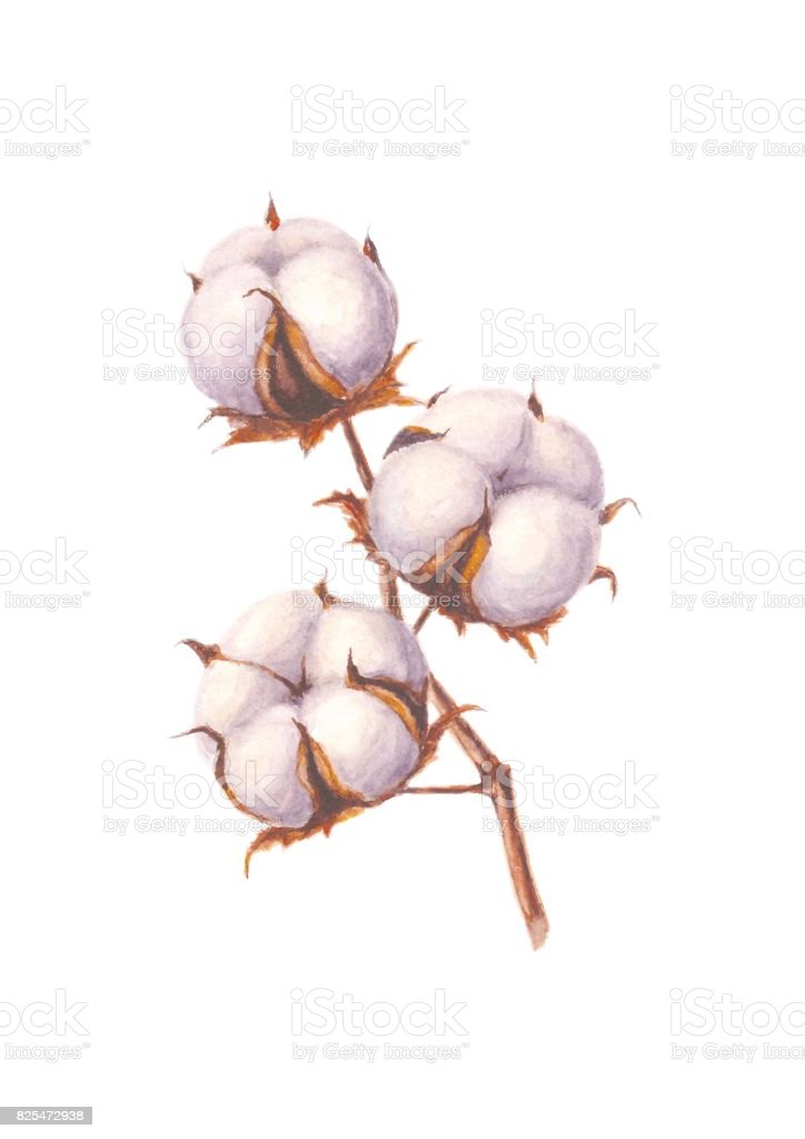 Watercolor cotton branch, isolated on white vector art illustration