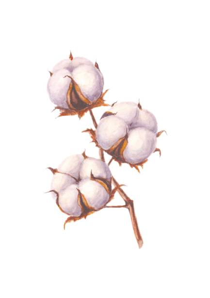 watercolor cotton branch, isolated on white - cotton stock illustrations, clip art, cartoons, & icons