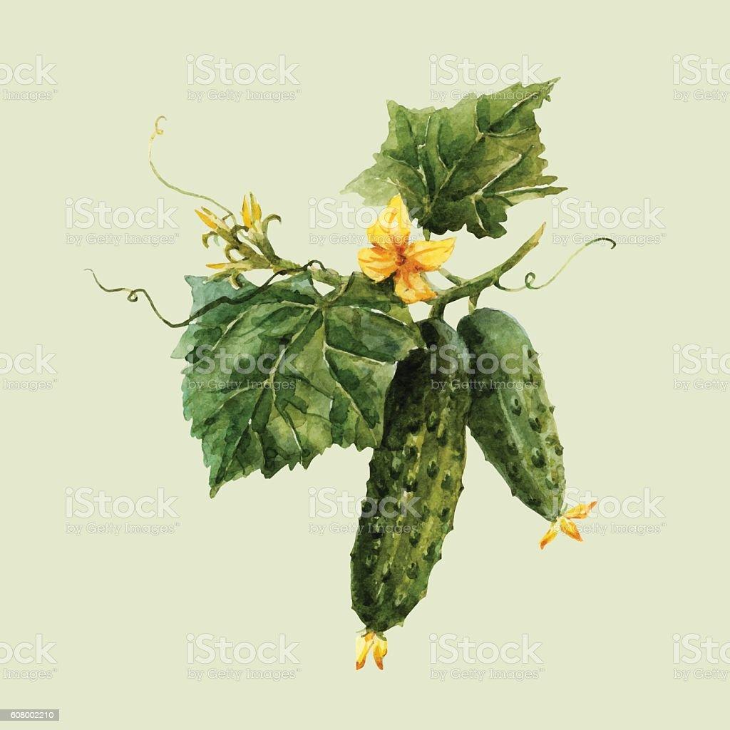 Watercolor cucumber branch vector art illustration