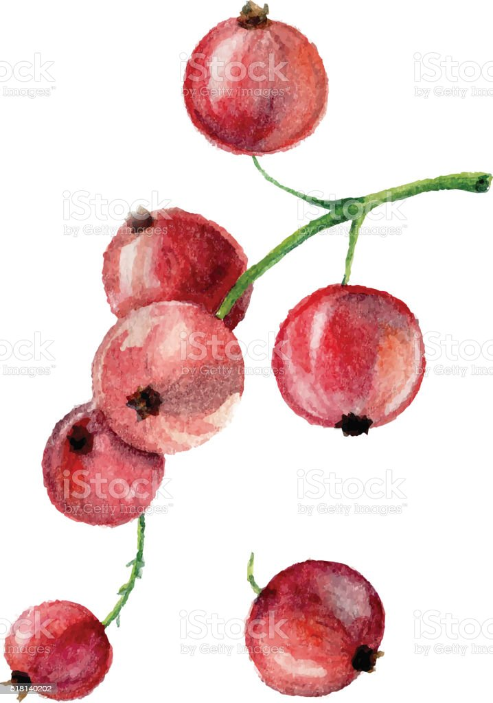Watercolor currant isolated vector art illustration