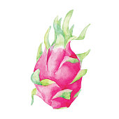 Vector illustration of watercolor Dragon fruit.