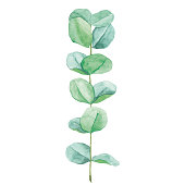 Vector illustration of eucalyptus.