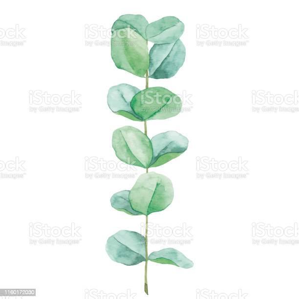 Watercolor eucalyptus vector id1160172030?b=1&k=6&m=1160172030&s=612x612&h=poeicwxdyesniq56zt15p2qnh hbkmukzhfk1oplwdo=