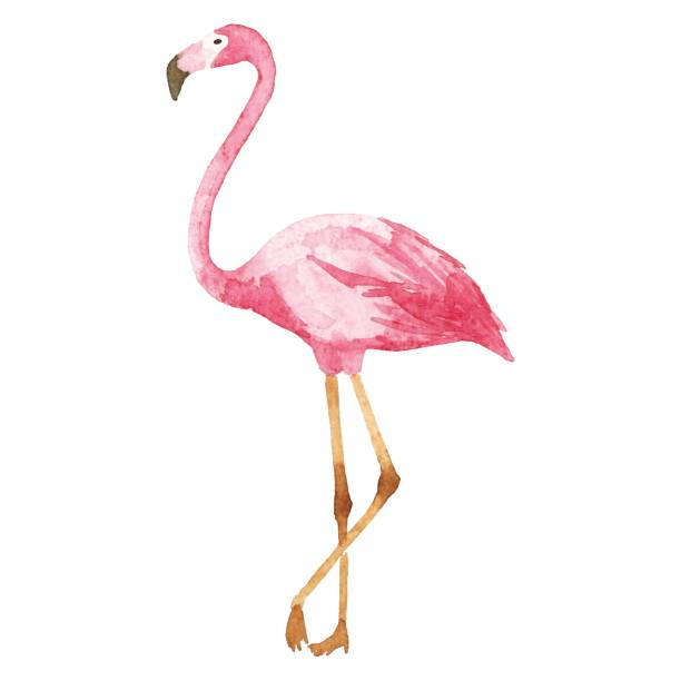 stockillustraties, clipart, cartoons en iconen met aquarel flamingo - afrikaanse vogel