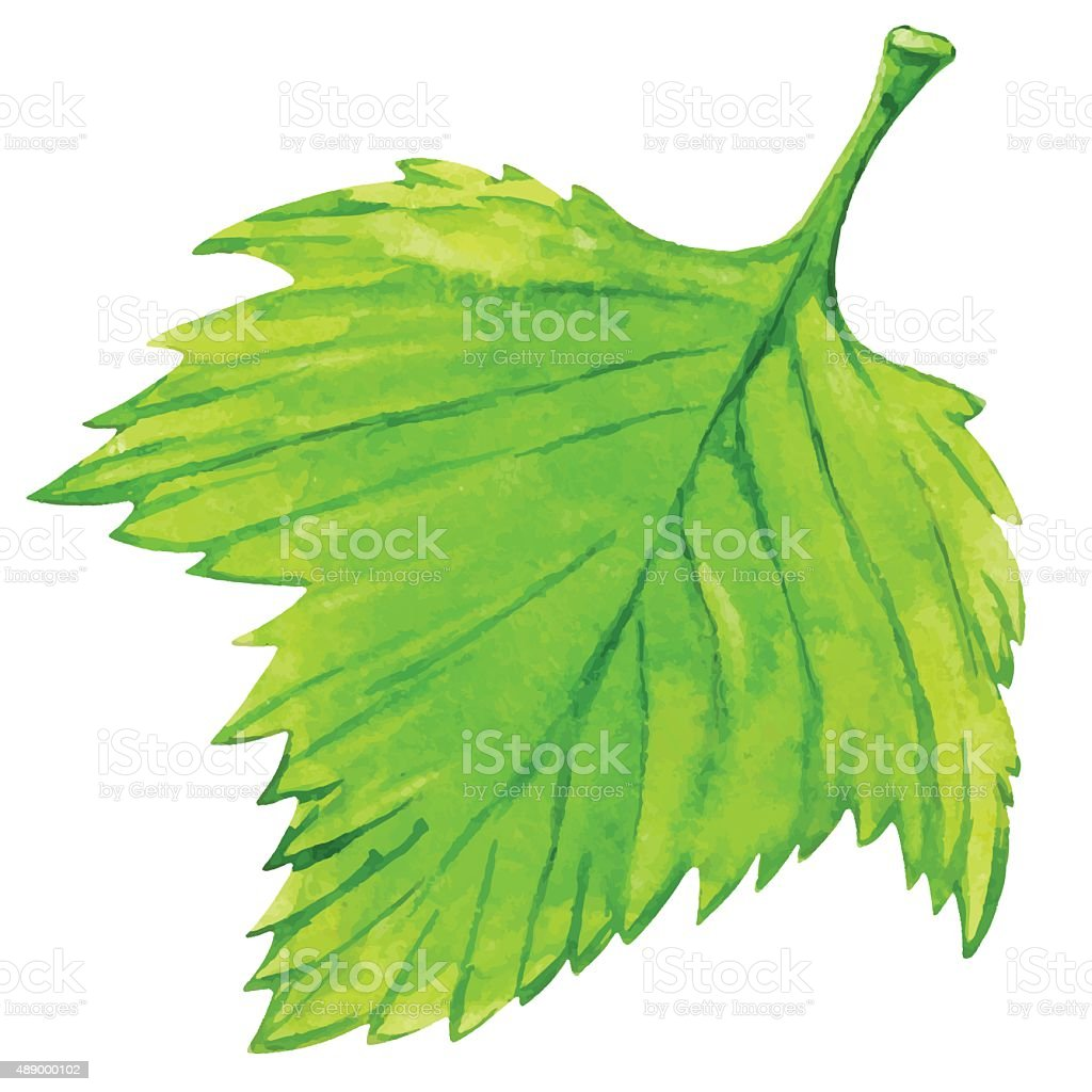 Watercolor fresh green leaf vector art illustration