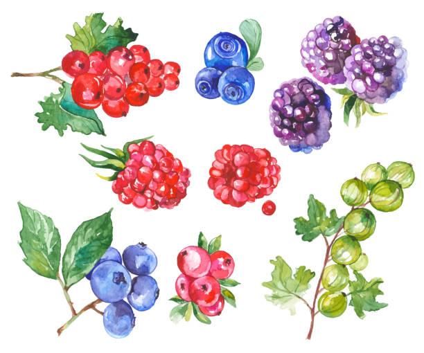 bildbanksillustrationer, clip art samt tecknat material och ikoner med akvarell frukter isolerad på vit - hallon