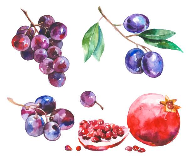 bildbanksillustrationer, clip art samt tecknat material och ikoner med akvarell frukter isolerad på vit - vindruva