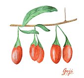Watercolor Goji berries isolated on white background. Hand painting realistic illustration on paper. Vintage design vector.