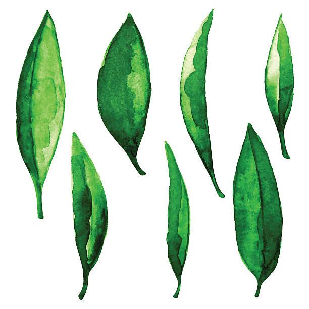 illustrazioni stock, clip art, cartoni animati e icone di tendenza di acquerello verde foglie - camellia sinensis