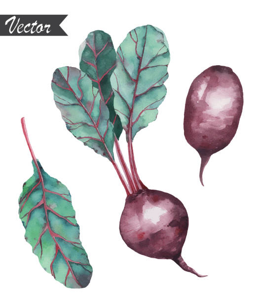 Watercolor hand drawn beetroot with leaves. Vector illustration. vector art illustration