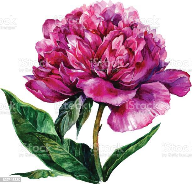 Watercolor hand drawn illustration of pink peony vector id655748330?b=1&k=6&m=655748330&s=612x612&h=kjingkwnoe5tjnxrs x9 jz7n8a7rs7nde4v2yfcxq8=