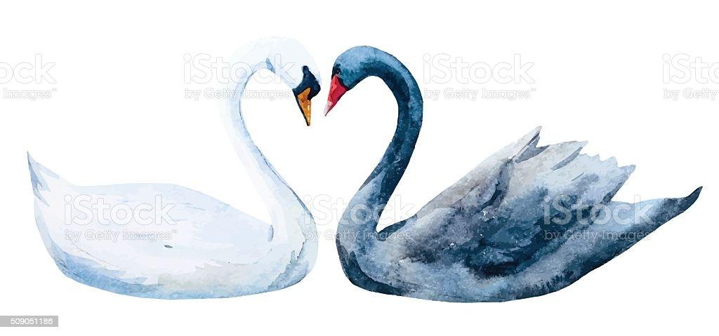 Watercolor hand drawn swans vector art illustration