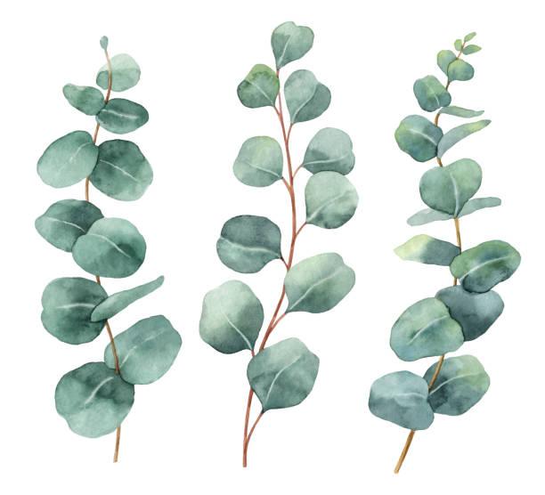 bildbanksillustrationer, clip art samt tecknat material och ikoner med akvarell handmålade vektor set med eucalyptus blad och grenar. - eucalyptus