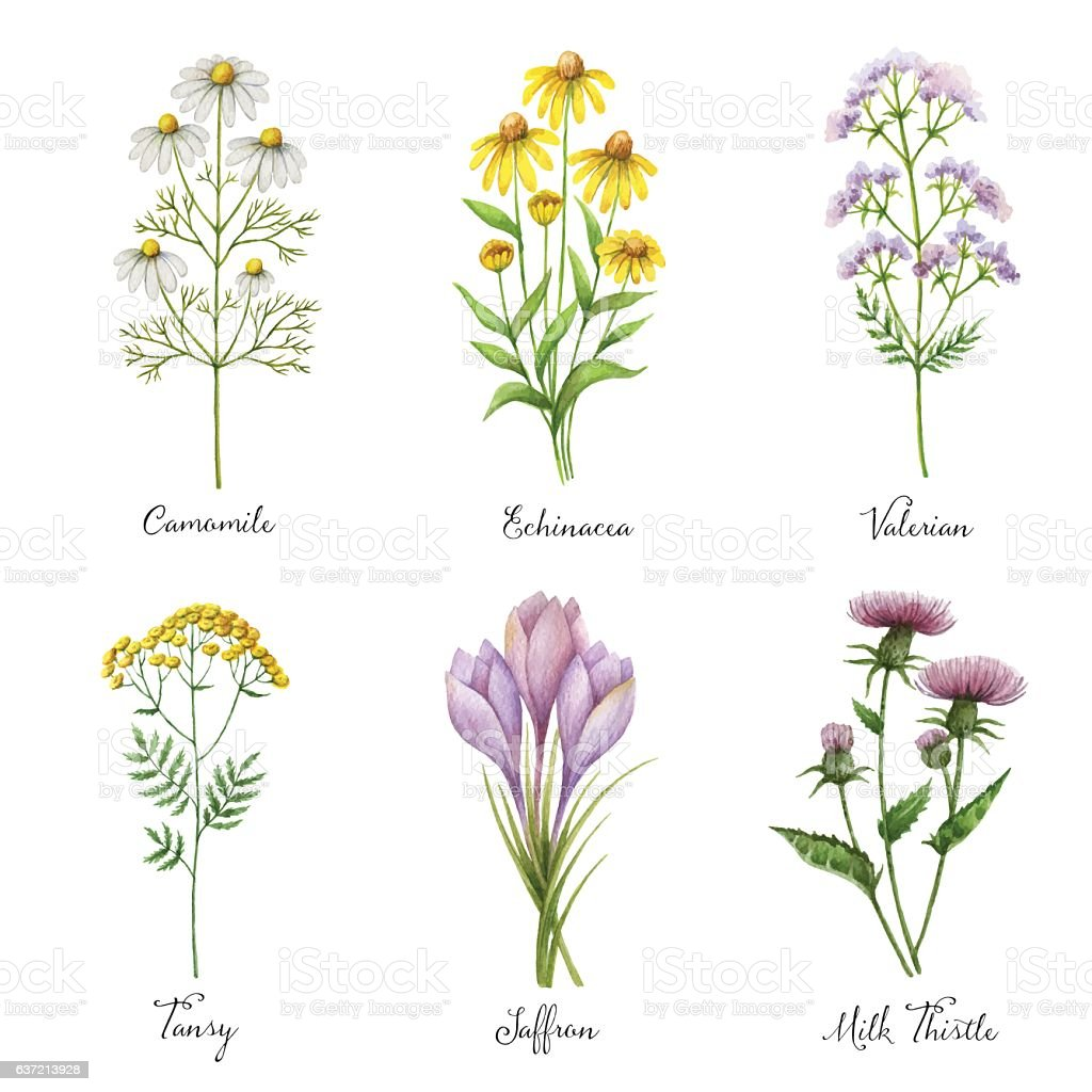 Watercolor hand painted vector set with medical herbs and plants. vector art illustration