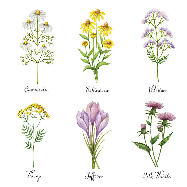 Watercolor hand painted vector set with medical herbs and plants. Watercolor hand painted vector set with medical herbs and plants. The perfect design for greeting card, medicine, packaging, kitchen decor, cosmetics, natural and organic products. chamomile plant stock illustrations