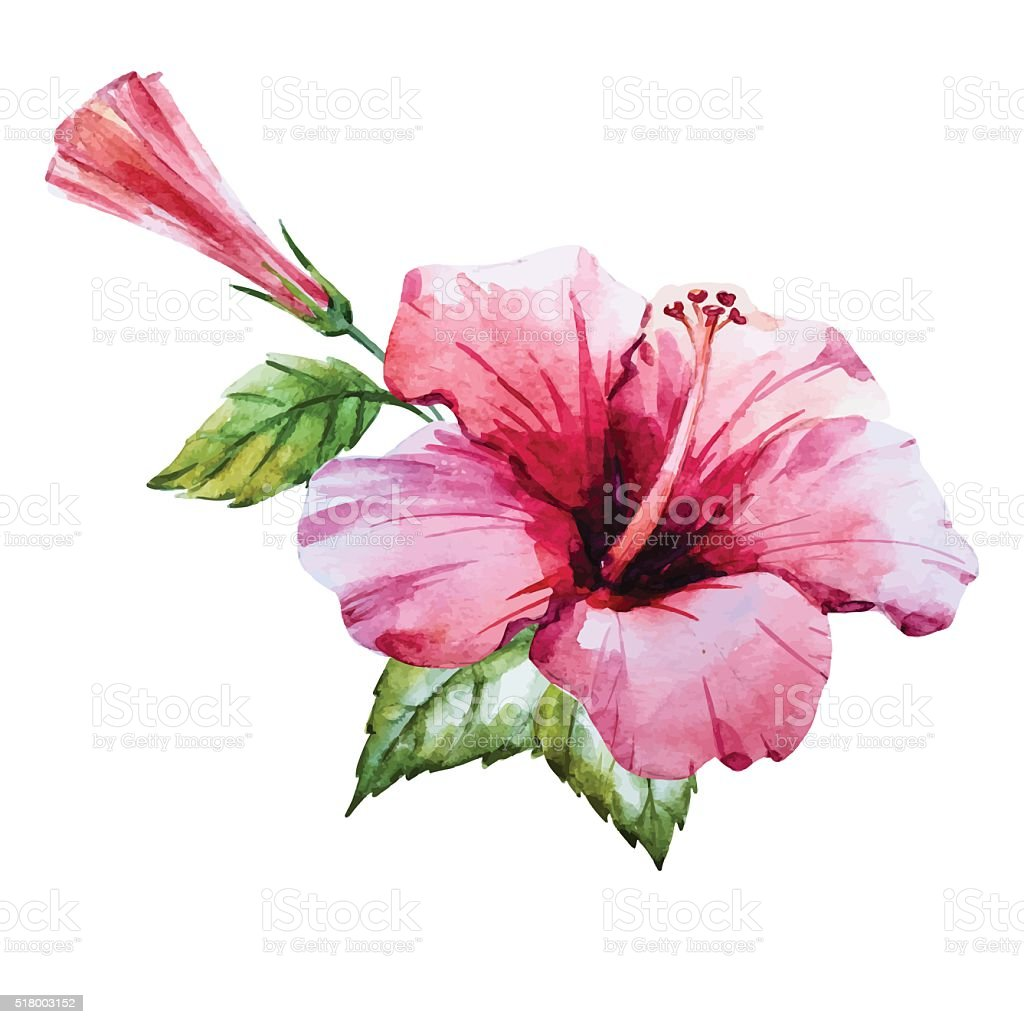 Watercolor Hibiscus Flower Stock Vector Art More Images Of Botany