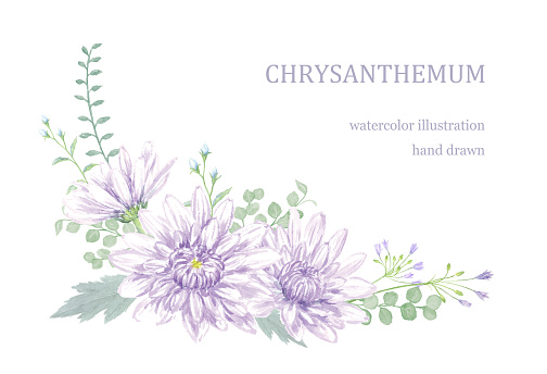Watercolor illustration of chrysanthemum.