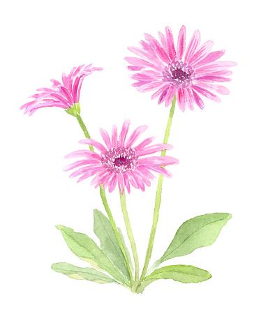 Watercolor illustration of Garbera.