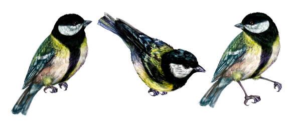 Watercolor Illustration of Great Tit Bird vector art illustration