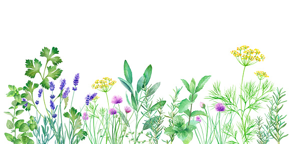 Watercolor illustration of herb garden with changeable layout. Vector data (dill, sage, mint, rosemary, chives, thyme, oregano, lavender, Italian parsley)