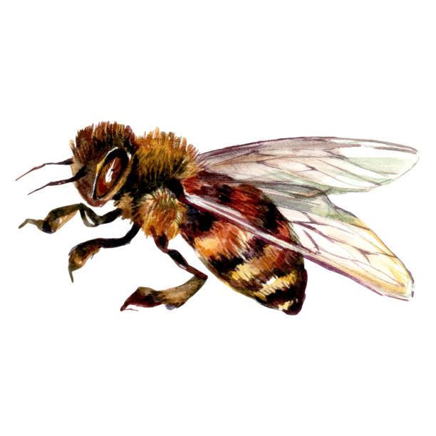 Watercolor Illustration of Honey Bee vector art illustration
