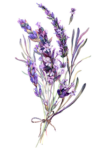 Watercolor Botanical Illustration of Lavender Bouquet Isolated on White Background. Vintage Style Floral Decoration.