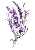 istock Watercolor Illustration of Lavender Bouquet 1248787594
