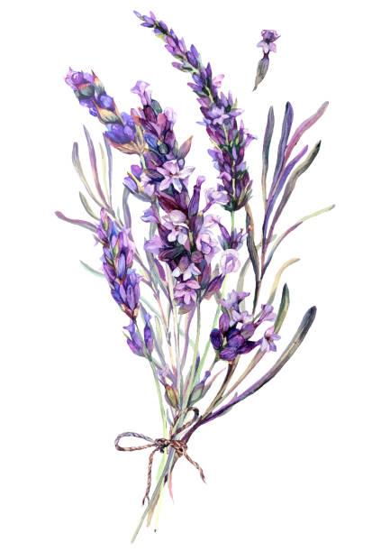 Watercolor Illustration of Lavender Bouquet vector art illustration