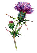 Botanical Illustration of Thistle in Vintage Style. Watercolor Drawing of Purple Flowering Plant Isolated on White. Meadow Wildflower Close up.