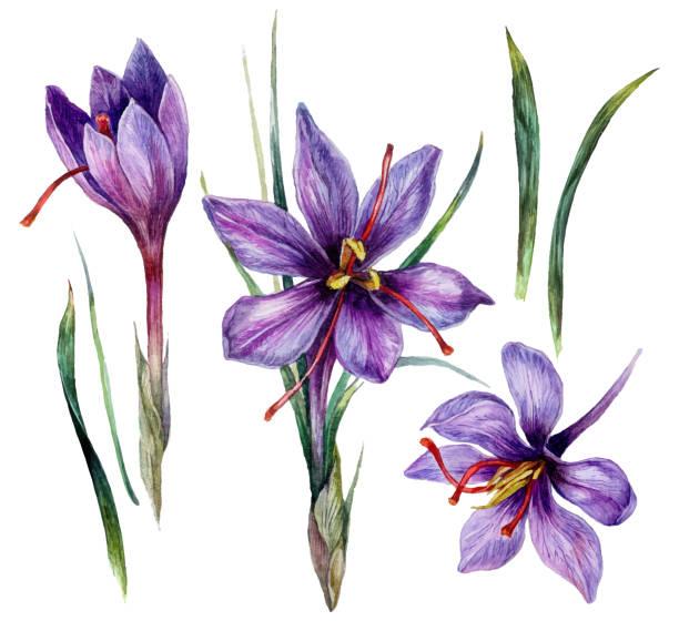Watercolor Illustration of Saffron Flowers vector art illustration