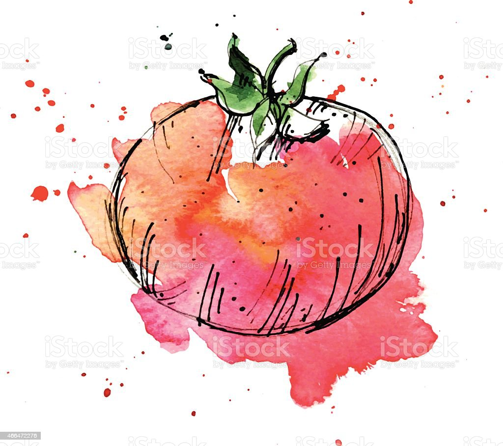 Watercolor illustration of tomato vector art illustration